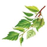 Betula-_-Sturm_Deutschlands-Flora-in-Abbildungen-(1796)